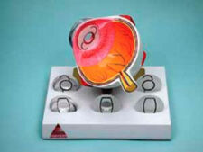 Intra Ocular Lens Eye Model