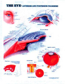 The Eye: Anterior & Posterior Chambers