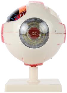 Human Eye Model